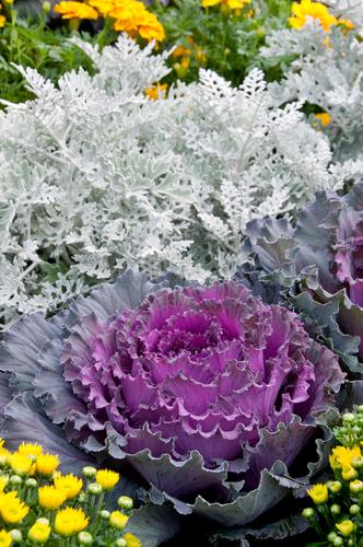 Okrasná zelenina se dobře kombinuje s dalšími rostlinami se zajímavým olistěním.