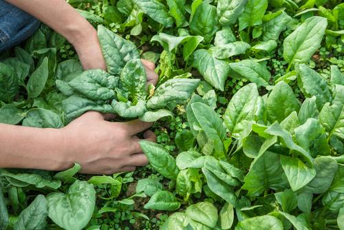 Špenát vyklíčí i z podzimního výsevu.
