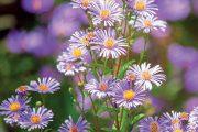 Astry patří ke stálicím českých zahrad. Tímto jménem se však označují jak pestré letničky, tak vytrvalé podzimní astry nazývané také hvězdnice.