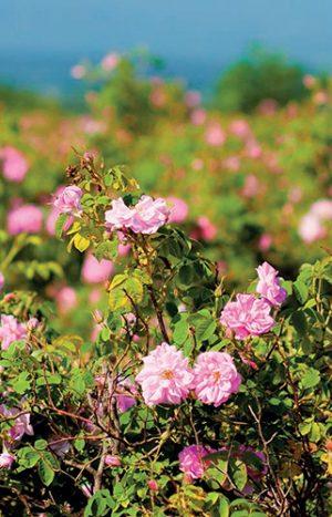 Pověstná bulharská růže druhu Rosa damascena se pěstuje na úpatí vysokých hor v Údolí růží