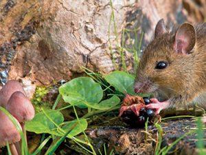 kde tuší dostatek potravy. Na podzim se myši stahují k lidským obydlím, Metod, jak jim zabránit, aby bydlely s vámi, existuje více.