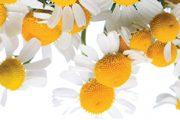 Myším nevoní některé rostliny či jejich části, patří mezi ně i heřmánek. Zkuste si na zahradě založit záhon této byliny.
