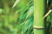 Mnohé z tradičních bambusů přečkají i tuzemskou zimu.