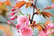 Asijské sakury jemných barev