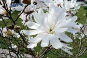 Šácholan hvězdovitý se díky svým efektním květům hodí především na exponovaná místa.