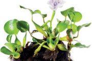 Vodní hyacint pochází z tropických vod, proto potřebuje bezpodmínečně zimovat v chráněném prostředí.