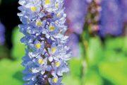 Modráska srdčitá je další ze skupiny choulostivějších rostlin, u nichž musíte počítat s každoročním zazimováním.