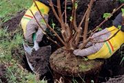 Také vysazované dřeviny je nutné upravit řezem.