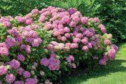 Aby hortenzie pravidelně kvetly, vyžadují citlivý přístup při řezu.