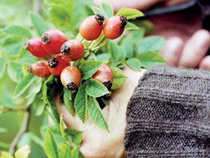 Plody šípku jsou důležitým zdrojem vitaminů C a A v zimních měsících.