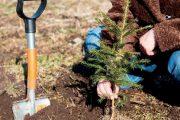 Při výsadbě stromků nespěchejte a půdu přisypávejte pomalu a postupně.