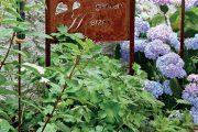 Na dřevěné terase u domu je menší zvýšený záhonek. Společnost oblíbenému mu dělají modré hortenzie velkolisté Hydrangea macrophylla.