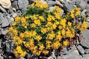 Mezi jednu z nejvděčnějších rostlin pro výsadbu do suchých zídek patří rozchodníky.