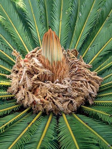 Cykasy patří k nejpodivuhodnějším rostlinám světa.