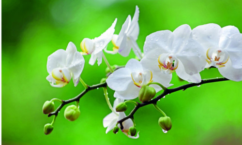 orchidej_3