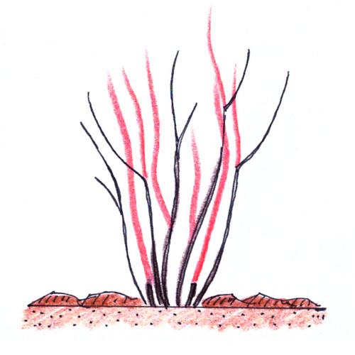 řez borůvky chocholičnaté
