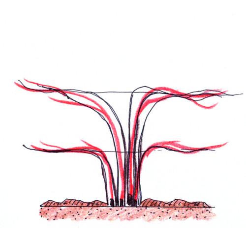 řez ostružiníku pěstovaného na drátěné konstrukci