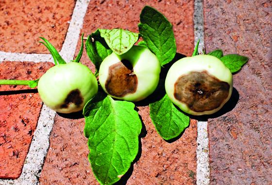 Nedostatek vápníku se projeví u rajčat na jejich plodech.