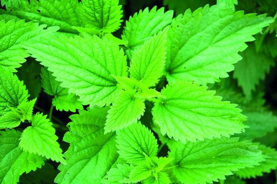 Kopřiva dvoudomá se hodí pro přípravu jarních detoxikačních šťáv.