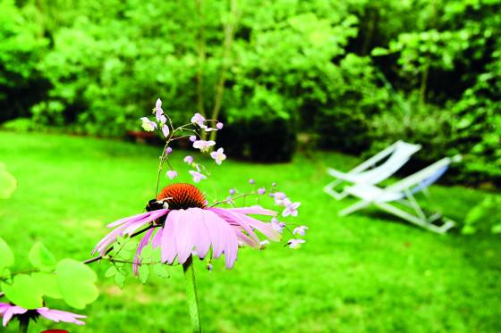 Americká třapatkovka se už natrvalo zabydlela na českých zahradách.