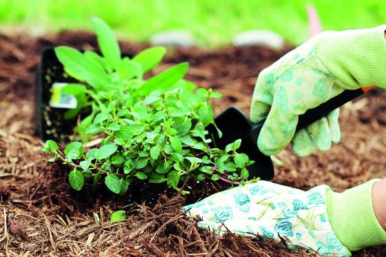 Mulč z organických materiálů je třeba čas od času doplnit.