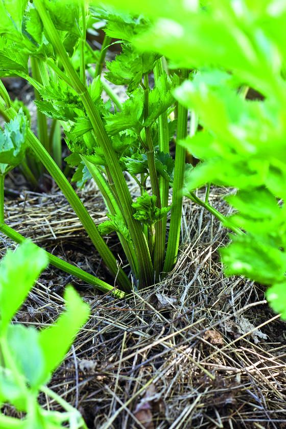 Vrstva trávy kryje půdu v zeleninových záhonech.