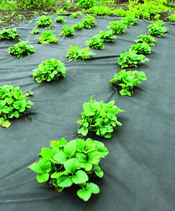 Černá textilie najde využití při pěstování jahod i zeleniny.