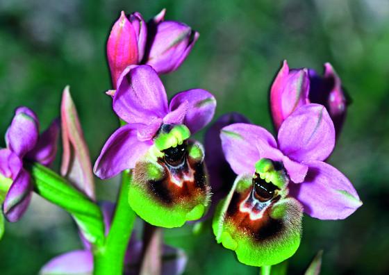 orchidej_titulka