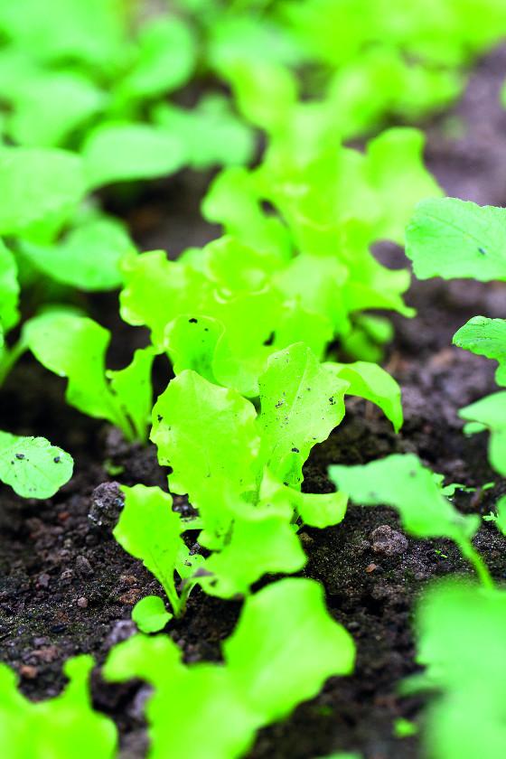 Skleník VITAVIA VENUS Salát a ředkvičky vysejte ve skleníku mezi plodovou zeleninu, využijete tak dokonale celou plochu.
