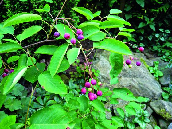 Novým trendem přírodních zahrad je návrat ke starým a netradičním ovocným odrůdám