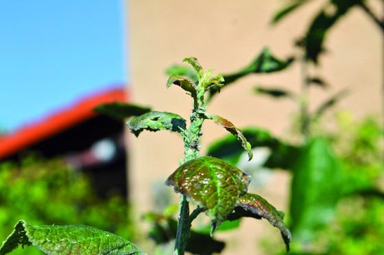 Kolonie škůdců na mladém výhonku švestky