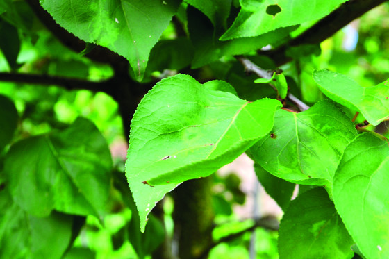 Příznaky virového onemocnění šarka na listech meruňky