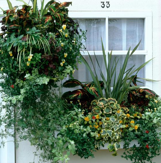 Džungle v truhlíku: pestrolisté begónie a muškáty, smil řapíkatý, břečťan, zelenec, máta, okrasná tráva ostřice, v závěsném koši kvítka macešek, v truhlíku žluté kvítky sanvitálie.