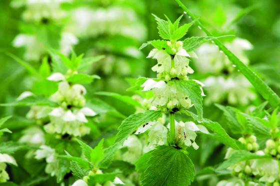Květy hluchavky bílé jsou součástí bylinných směsí proti kašli.