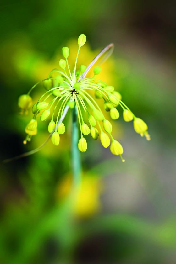 Česnek žlutý