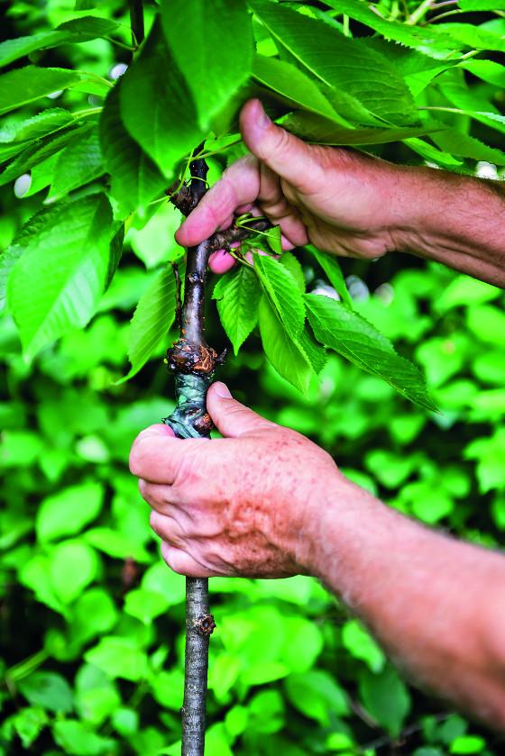 Vybrané druhy dřevin můžete úspěšně roubovat právě v létě