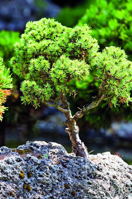 Lehký pěnový tuf dokáže zadržet vodu, což stromkům i skalničkám vyhovuje.