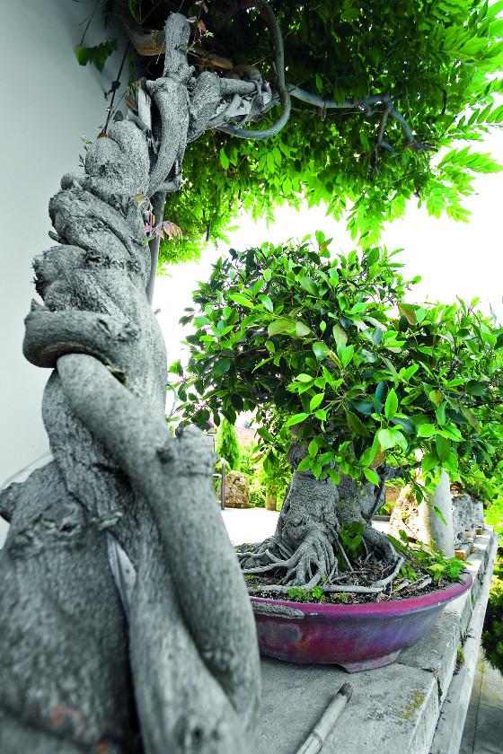 Mezi nádobovými rostlinami najdete i bonsaj drobnolistého fikusu.