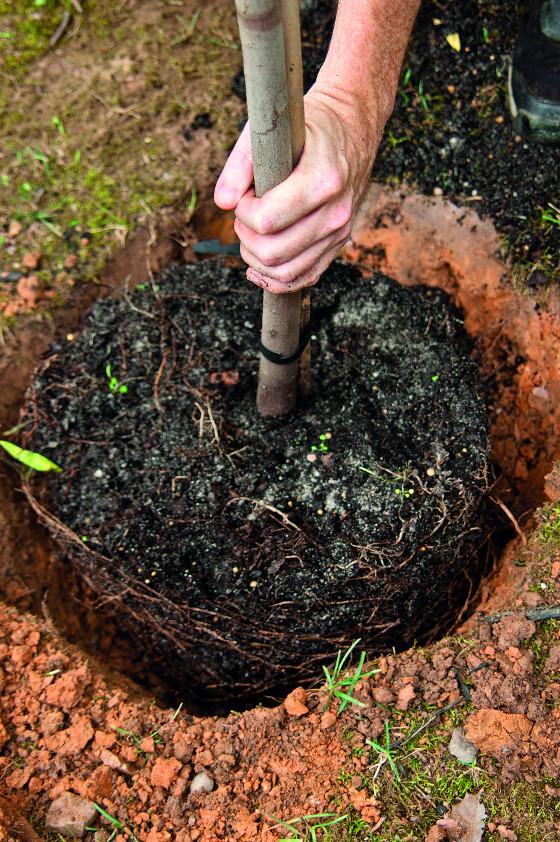 Hloubení výsadbových jam přizpůsobte stromkům a nedělejte je zbytečně velké.