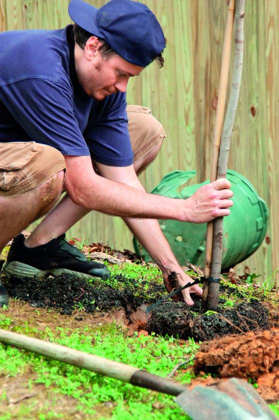 V případě sazenic roubovaných na semenáče dbejte na to, aby byl kořenový krček přesně na úrovni půdy.