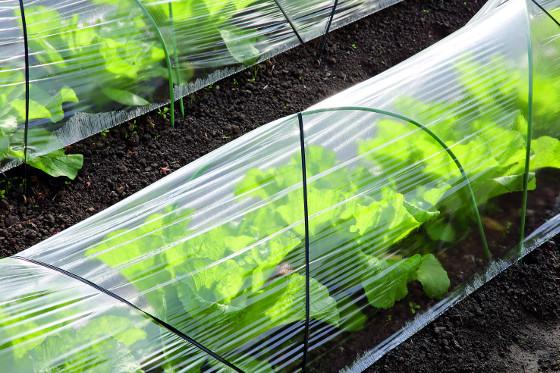 Rostliny před nízkými teplotami ochrání fólie, kterou natáhněte například na obloukovou konstrukci.