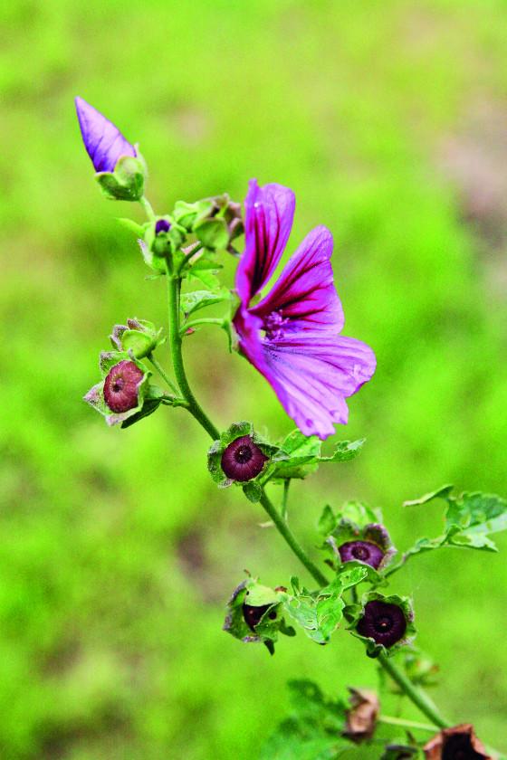 Také rostliny z čeledi slézovitých se dají doma dobře množit.