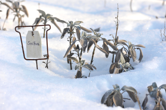 Salbei salvia officinalis im Schnee