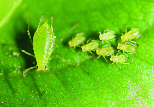 paraziti na pokojovych rostlinach)